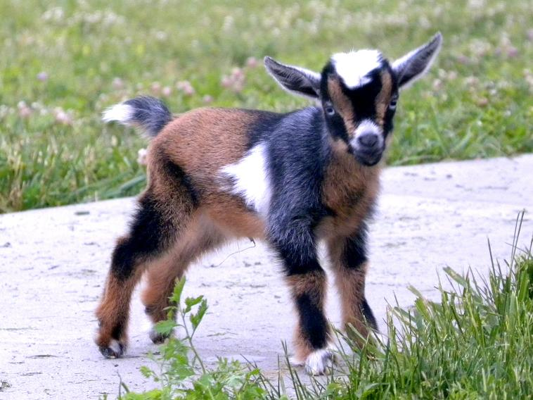 5 Best Dairy Goat Breeds for the - 86.7KB